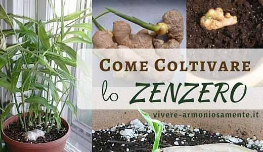 come-coltivare-lo-zenzero-in-casa