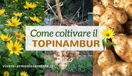 come-coltivare-il-topinambur