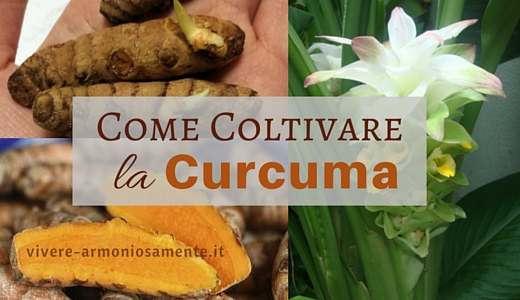 come-coltivare-la-curcuma-in-casa