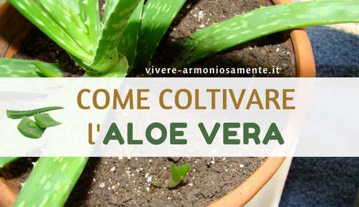 coltivazione-dell-aloe-vera